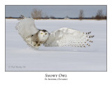 Snowy Owl-086