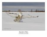 Snowy Owl-087