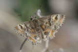 Arizona Powdered-Skipper (Systasea zampa)