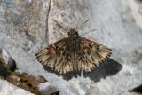 Common Streaky-Skipper (Celotes nessus)