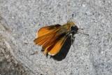 Orange Skipperling (Copaeodes aurantiaca)