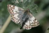 Northern White-Skipper  (Heliopetes ericetorum) - female