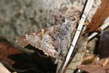 Short-tailed Skipper (Zestusa dorus)