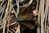 Bronze Roadside-Skipper (Amblyscirtes aenus aenus)