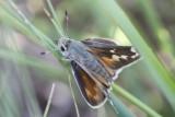 Uncas Skipper (Hesperia uncas lasus)