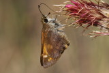 Taxiles Skipper (Poanes taxiles) - female