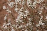 Wright's BUckwheat (Eriogonum wrightii)