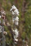 Redroot Buckwheat (Eriogonum racemosum)