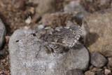Arizona Giant-Skipper (Agathymus aryxna)