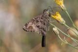 Dorantes Longtail (Urbanus dorantes)