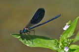 Damselflies and Dragonflies 2009