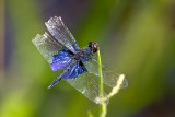 Dragonflies and Damselflies of Thailand