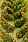 Cinnamon Fern's Fertile Frond