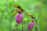 Pink Lady's Slipper Orchids