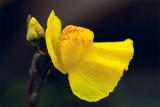Common Bladderwort