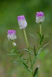 Field Milkwort