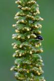 Great Ragweed