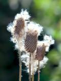 Thimbleweed Seeds