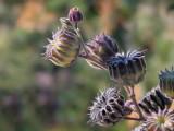 Velvetleaf Seeds