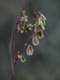 Climbing False Buckwheat Seeds
