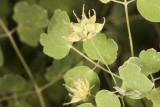 Basketbush (Rhus trilobata)