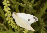 Cabbage White  (Pieris rapae )