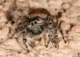 Johnson Jumping Spider (Phidippus johnsoni)