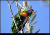 Rainbow Lorrikeet