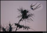 Acacia Blue with close up