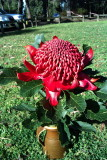 Waratah - Native flower Emblem of New South Wales