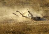 Donkey Dust Bath