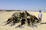 Giant Welwitschia Mirabillis