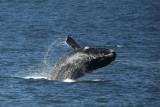 Whales - Hermanus