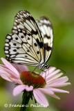:: Papillons ::