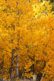 Aspen Color, Road to South Lake