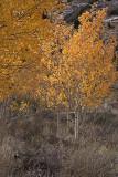 Fall Color 1, June Lake Loop