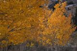 Fall Color 2, June Lake Loop