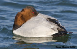 Canvasback 3199