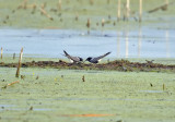 Black Terns exchanging food