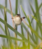 Marsh Wren 4876