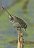 Song Sparrow 5259
