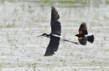 Black-necked Stilt chased by RWBB 5583