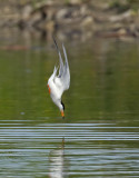 Forsters Tern diving 5827