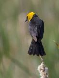Yellow-headed Blackbird 6050
