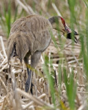 Sandhill Crane with baby Red-winged Blackbird 6370