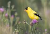 American Goldfinch 4681