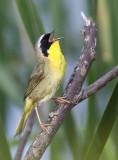 Common Yellowthroat 4896