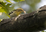 Blackburnian Warbler with food 982