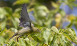 Blackpoll Warbler 3082