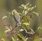 Blackpoll Warbler 3105